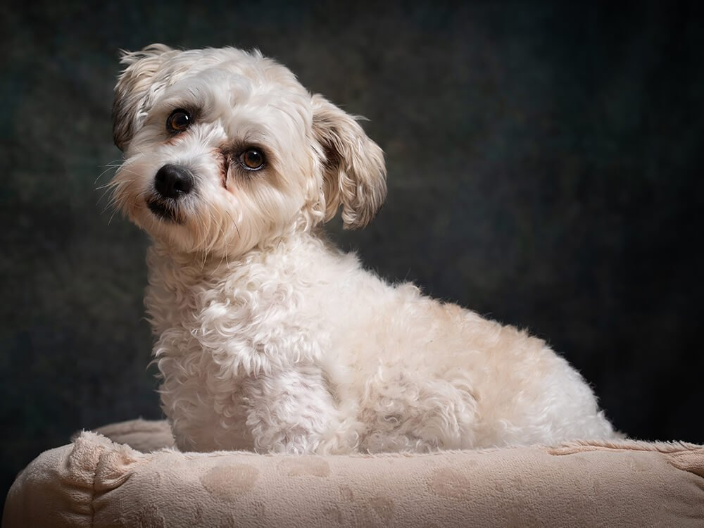 cheapest dog breeds - Cavachon