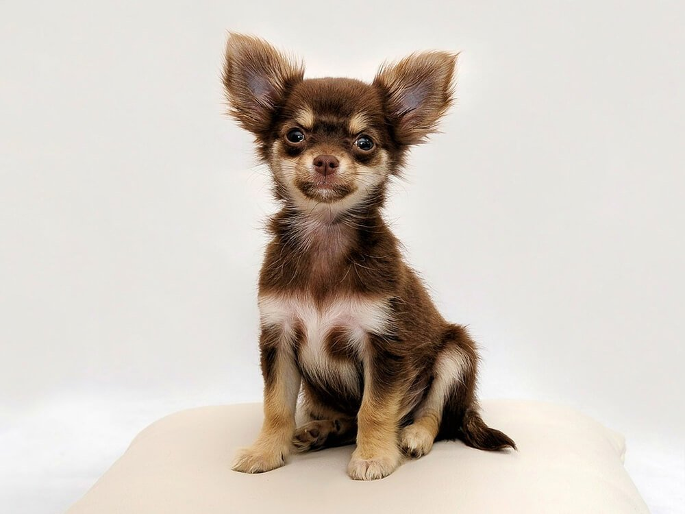 cheapest dog breeds - Chihuahua