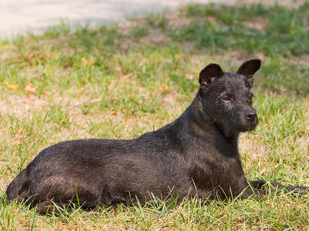 cheapest dog breeds - Patterdale Terrier