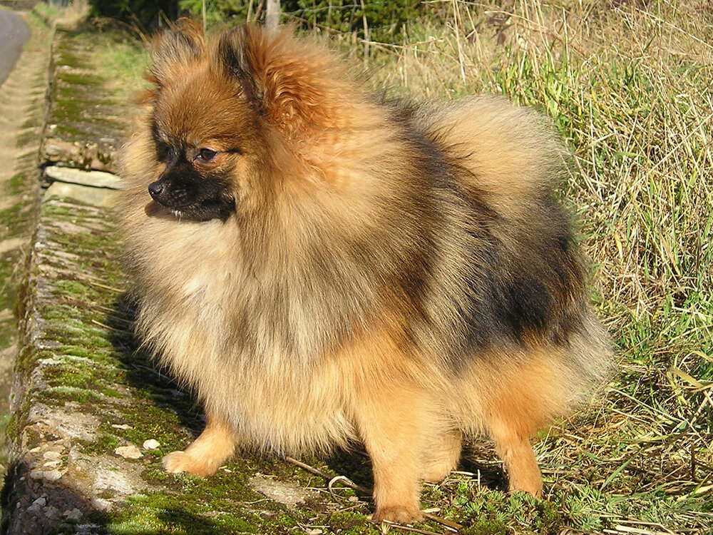cheapest dog breeds - Pomeranian