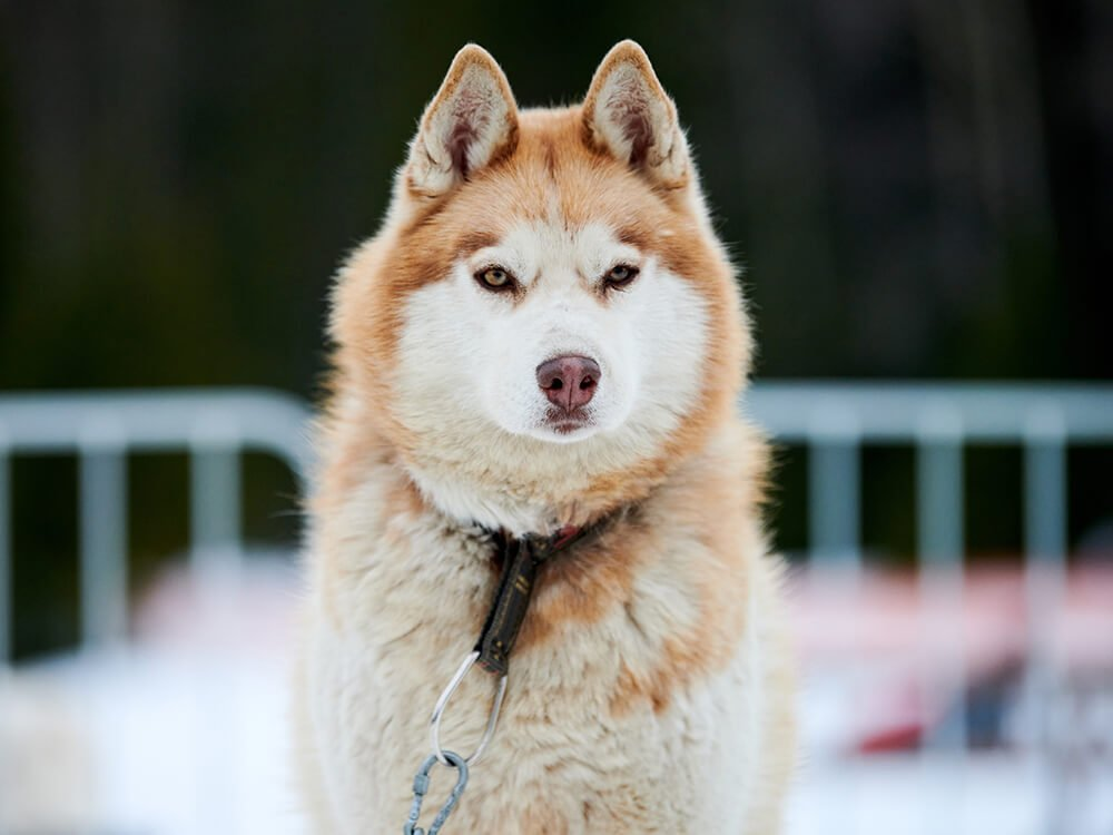 cheapest dog breeds - Siberian Husky