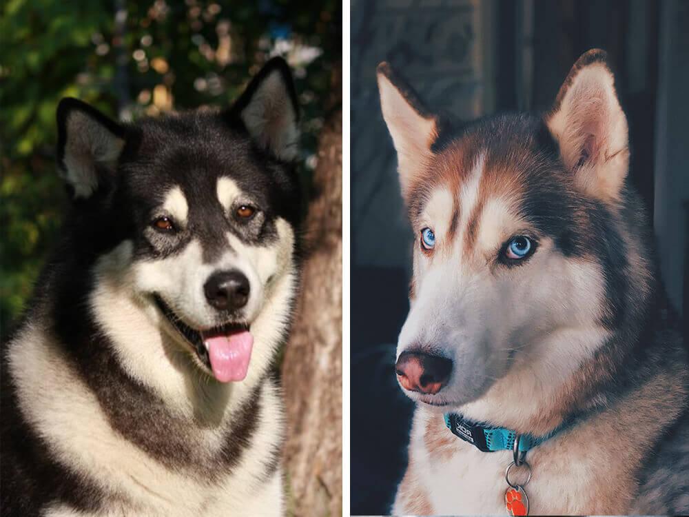 malamute vs husky 3