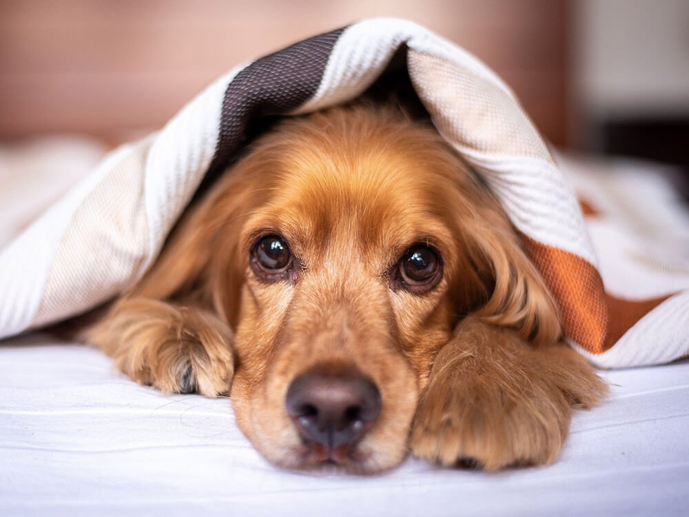 phantom pregnancy in dogs 4