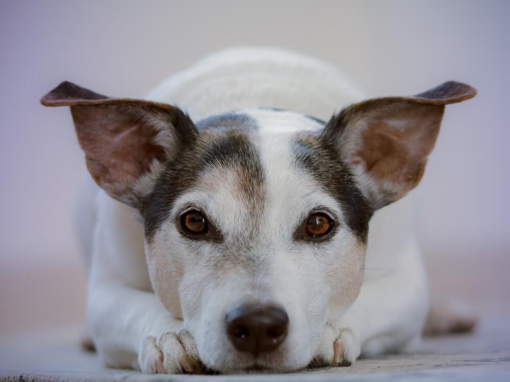 phantom pregnancy in dogs 7