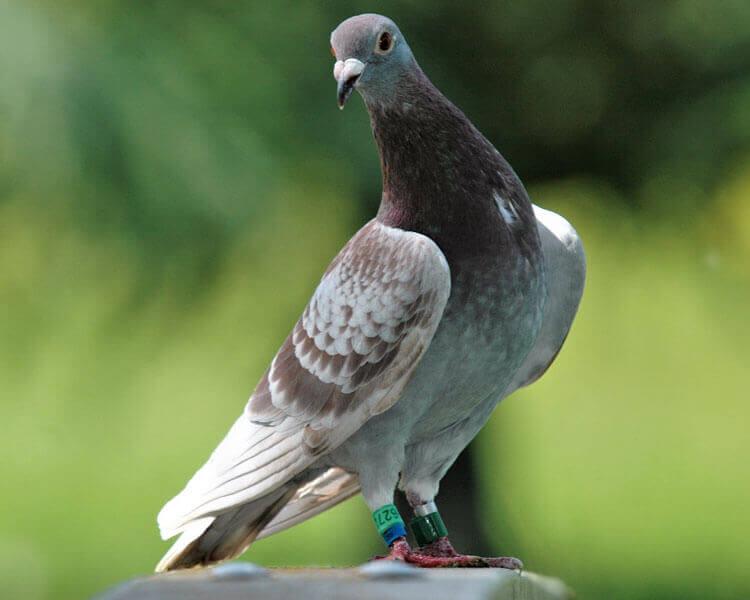 racing pigeons 1