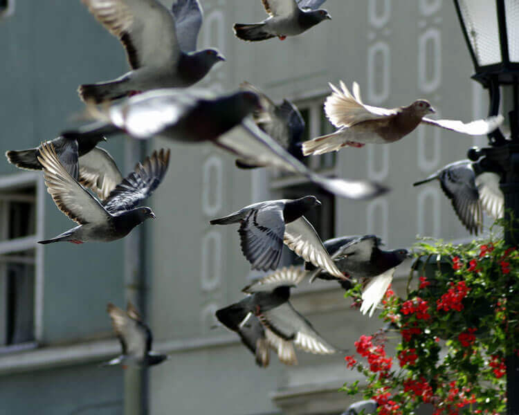 racing pigeons 2