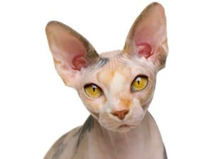 12 Most Expensive Cat Breeds in the World (2021)