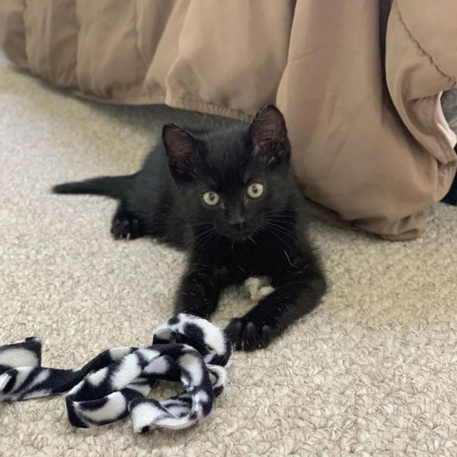 black kitten 10