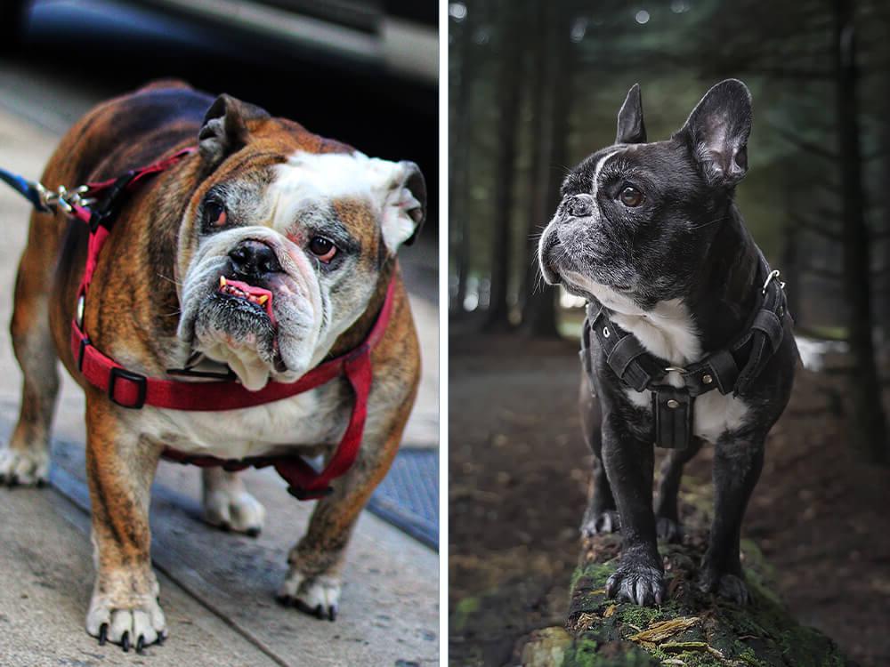 english bulldog vs french bulldog 1