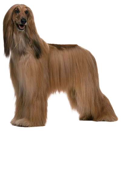 afghan-hound dog breed