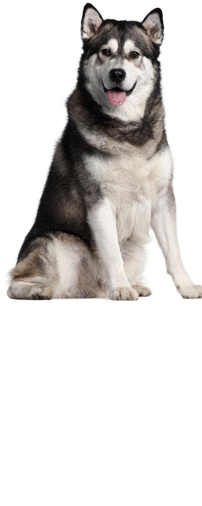 alaskan-malamute dog breed
