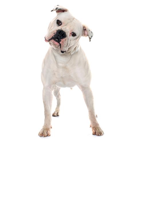 american-bulldog dog breed