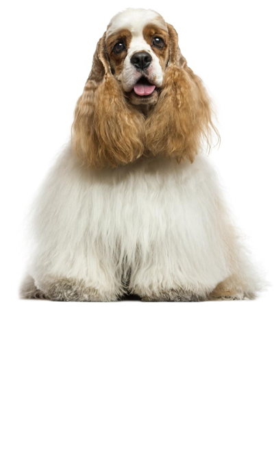 american-cocker-spaniel dog breed