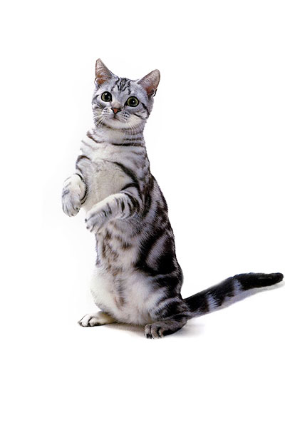 american-shorthair dog breed