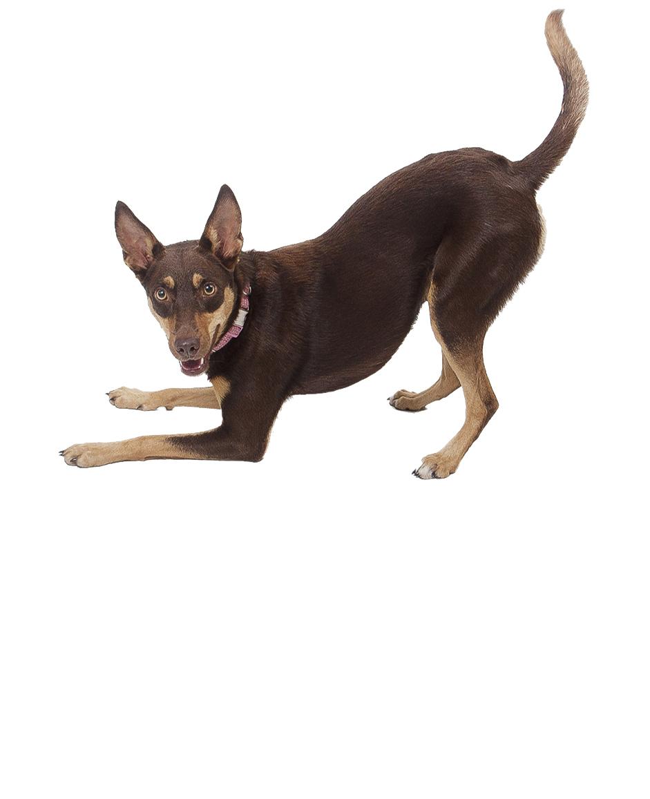 Australian Kelpie Dog Breed   UKPets