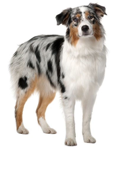 australian-shepherd dog breed