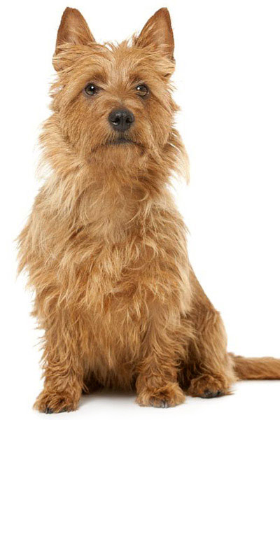 australian-terrier dog breed