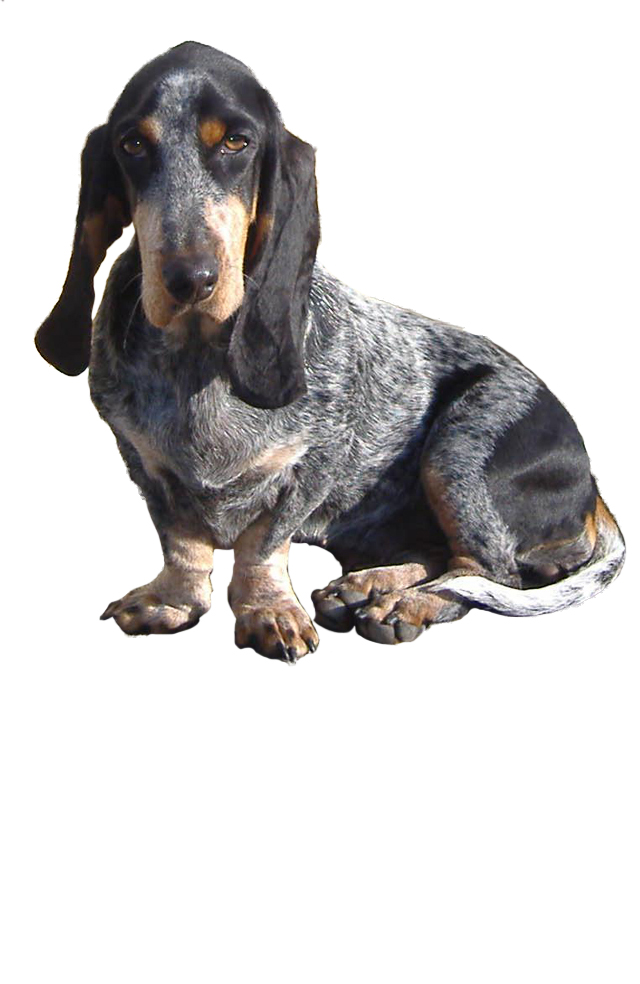 basset-bleu-de-gascogne dog breed