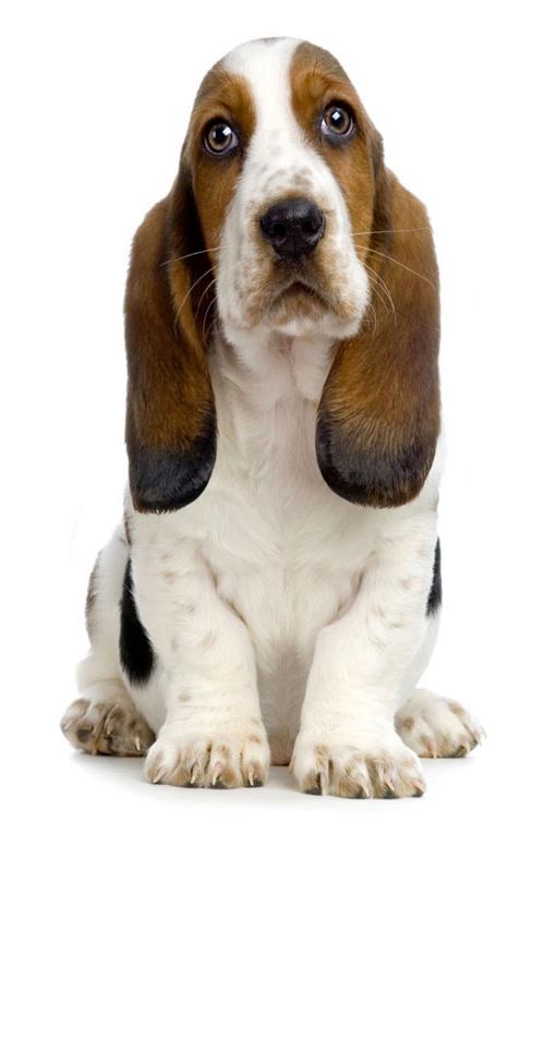basset-hound dog breed