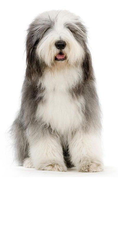 bearded-collie dog breed