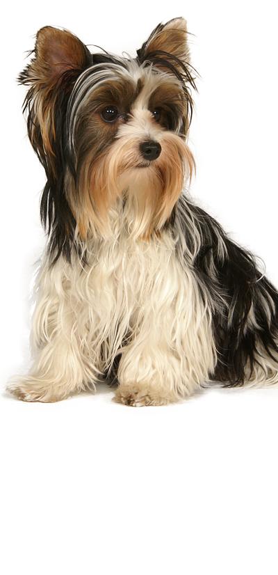 biewer-terrier dog breed