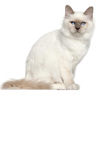 birman dog breed