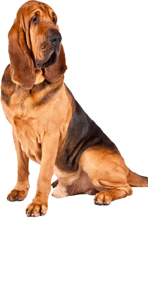 bloodhound dog breed