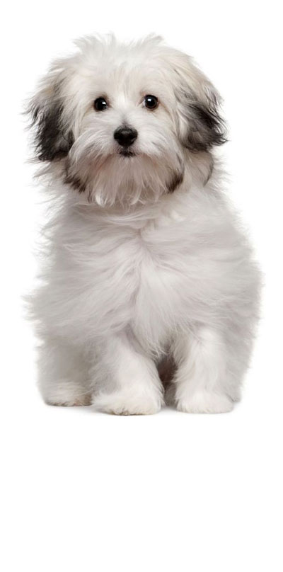 bolognese dog breed
