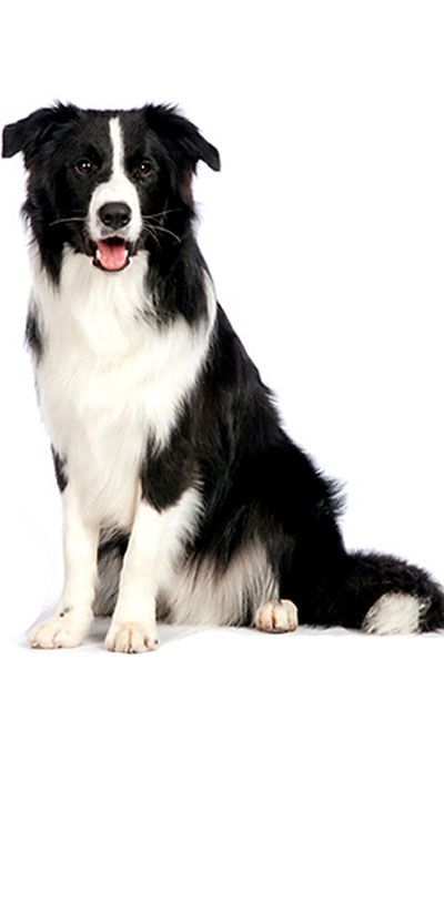border-collie dog breed