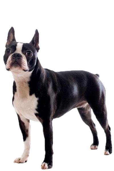 boston-terrier dog breed
