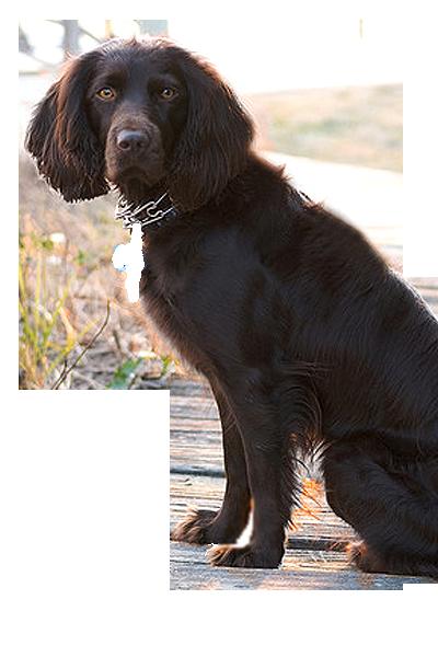 boykin-spaniel dog breed