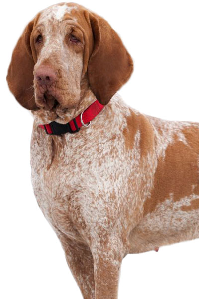 bracco-italiano dog breed