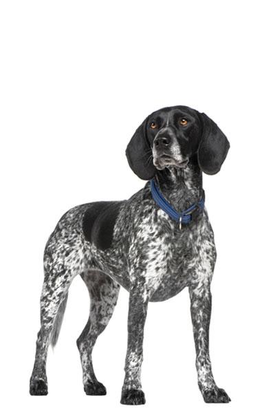 braque-d-auvergne dog breed