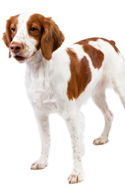 brittany-spaniel dog breed