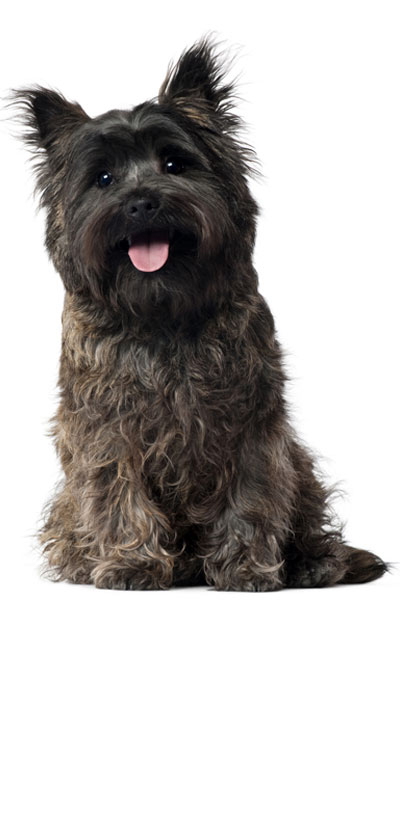 cairn-terrier dog breed