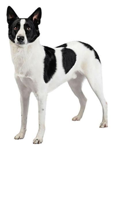 canaan-dog dog breed