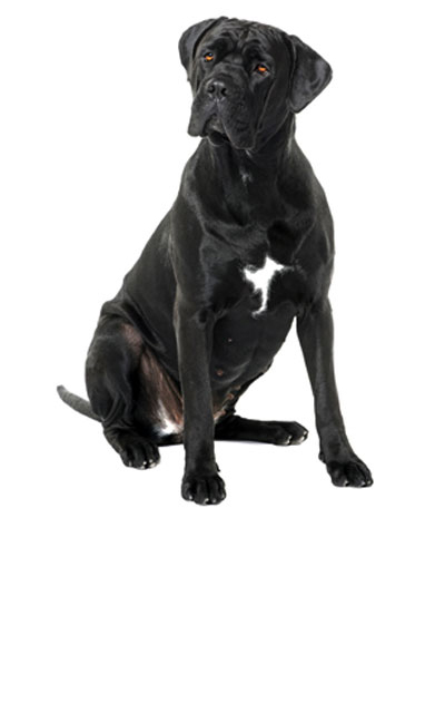 cane-corso dog breed