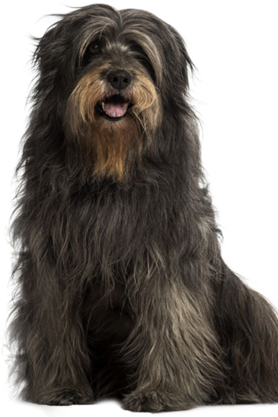 catalan-sheepdog dog breed