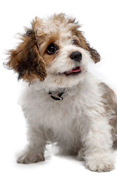 cavachon dog breed