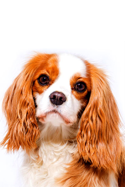 cavalier-king-charles-spaniel dog breed