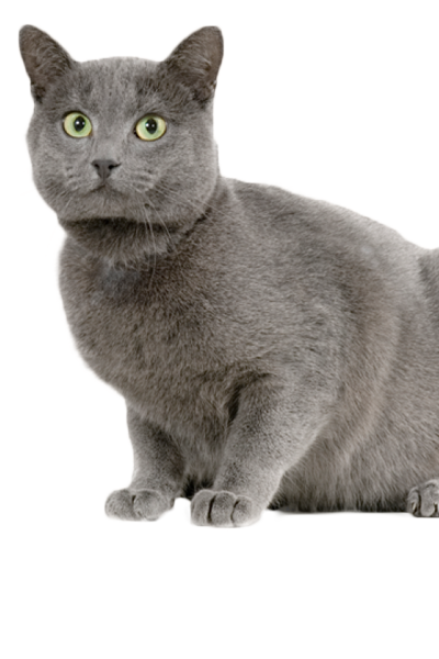 chartreux dog breed