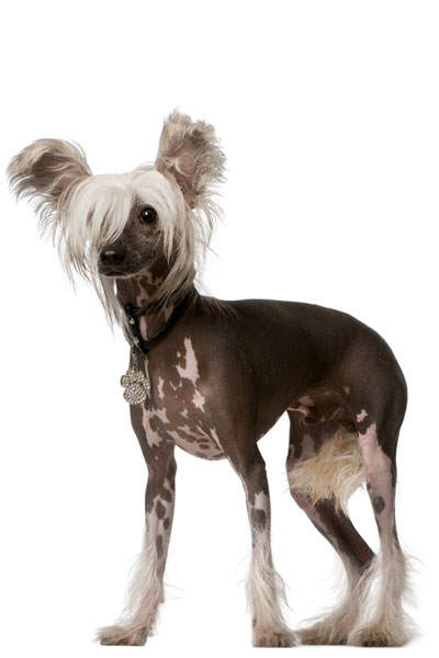 chinese-crested dog breed