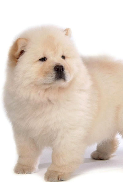 chow-chow dog breed