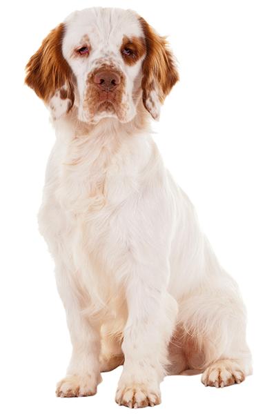 clumber-spaniel dog breed