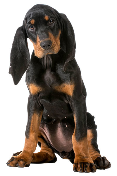 coonhound dog breed