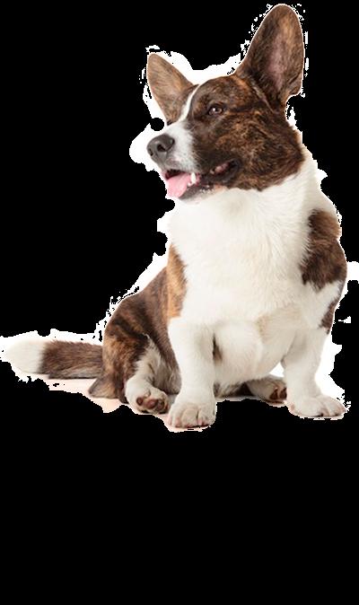corgi-welsh-cardigan dog breed
