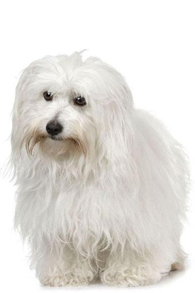 coton-de-tulear dog breed