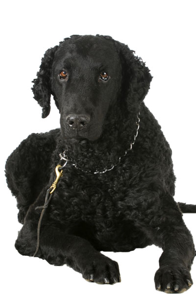 curly-coated-retriever dog breed