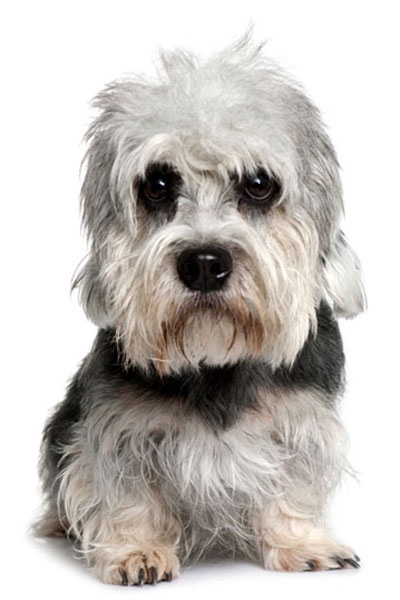 dandie-dinmont-terrier dog breed