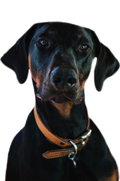 dobermann dog breed